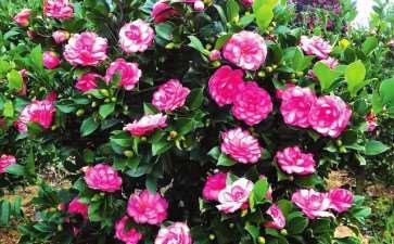 中国花卉协会茶花第六届理事会工作报告