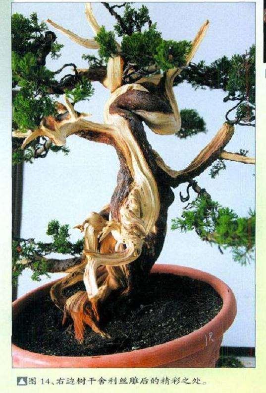 真柏盆景扁化树干怎么舍利雕刻