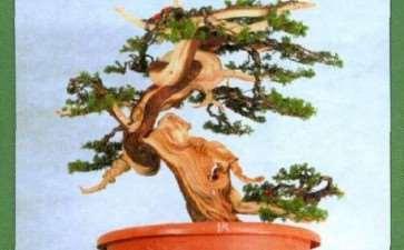 图解 真柏盆景扁化树干怎么舍利雕刻