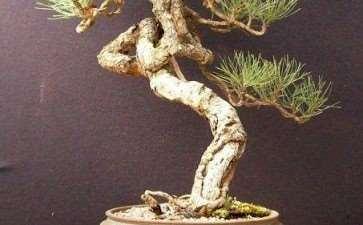 美国盆景艺术家之安得烈.史密斯