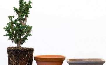 图解 扁柏盆景怎么赤玉土换土的9个步骤