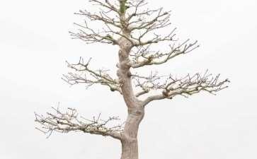 图解 枫树盆景怎么翻盆的14个步骤