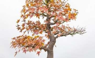 日本枫树盆景 秋季修剪 前后对比图片