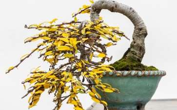 图解 矮猫柳盆景怎么修剪蟠扎的7个过程