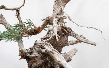 图解 对杜松盆景怎么初步造型的方法