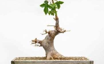 修剪枫树盆景牺牲枝的前后 对比图片
