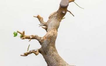 图解 三叉枫树盆景怎么修剪的8个过程