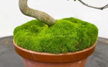 图解 小月杜鹃盆景怎么涂抹苔藓追肥的方法