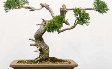 图解 丝鱼川怎么嫁接桧木盆景的13个过程