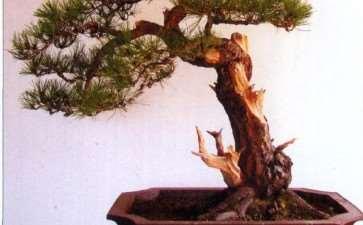 图解 黄山松盆景怎么去繁求势的11个过程