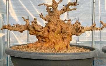 老外种植的小月杜鹃花盆景 图片