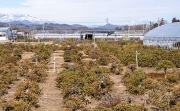 高桥和弘的田间小月杜鹃花盆景 图片