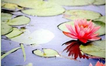 睡莲多是贴水而生的 盏花一朵 图片