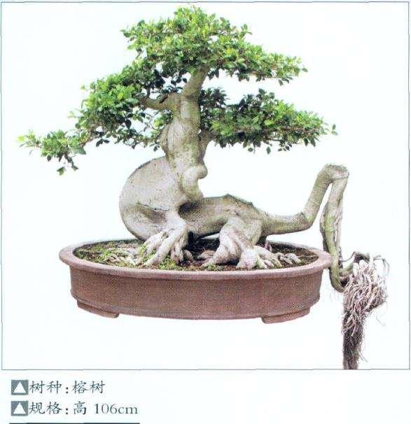 晋江榕树盆景园