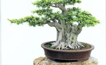 晋江榕树盆景园 图片欣赏
