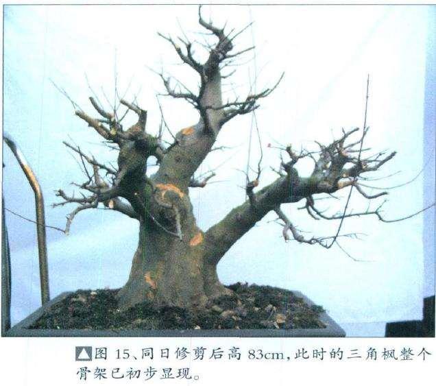 三角枫盆景培育