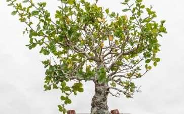 图解 橡树盆景怎么金属丝蟠扎的8个步骤