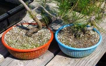 夏季松树盆景怎么浇水的4个步骤 图片