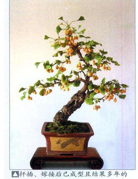 银杏盆景怎么嫁接成型的2个方法