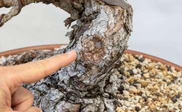 图解 黑松盆景怎么修剪牺牲枝的8个步骤