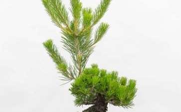 图解 怎么用牺牲枝平衡松树盆景的活力