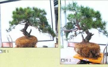 图解 怎么地栽赤松盆景的11个步骤
