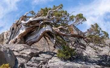 天然半层叠式塞拉杜松盆景 图片