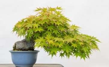 小品日本枫树盆景的部分落叶 图片
