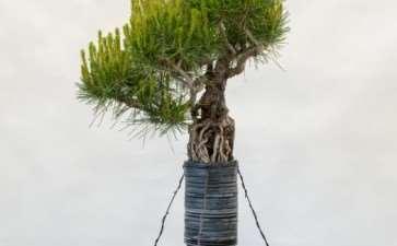 图片 露根松树盆景怎么整理根部的过程