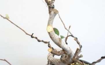 图解 木瓜盆景怎么修剪的8个过程