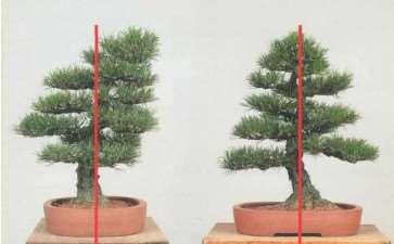 图解 黑松盆景怎么移栽的7个步骤