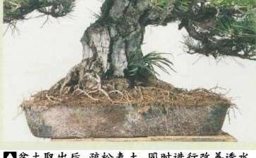 图解 黑松盆景怎么根部移栽的9个步骤